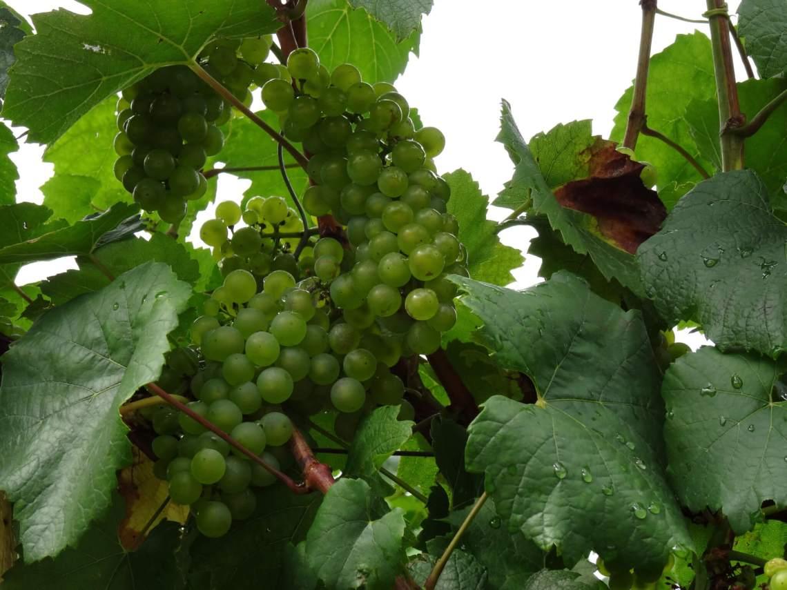 Tros witte druiven aan een rank