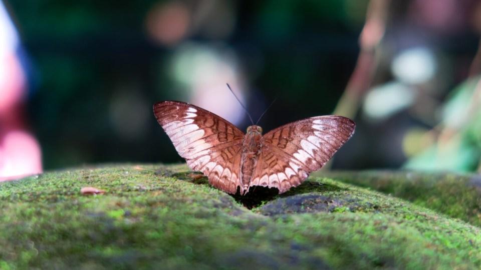 Papillon sur une pierre à Bali