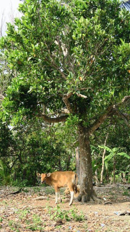Vache au pied d'un arbre dans la campagne de Nusa Penida, Bali