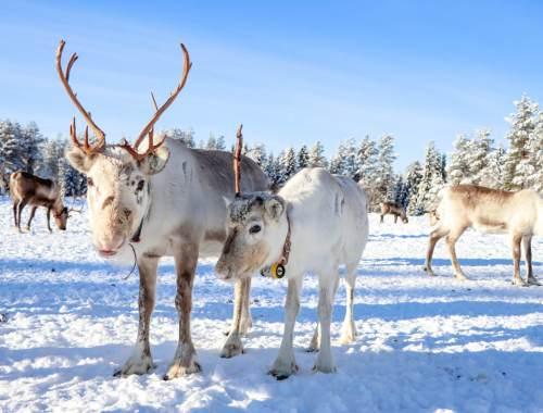 Rennes blancs de Laponie