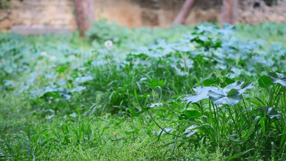 Herbe verte au printemps