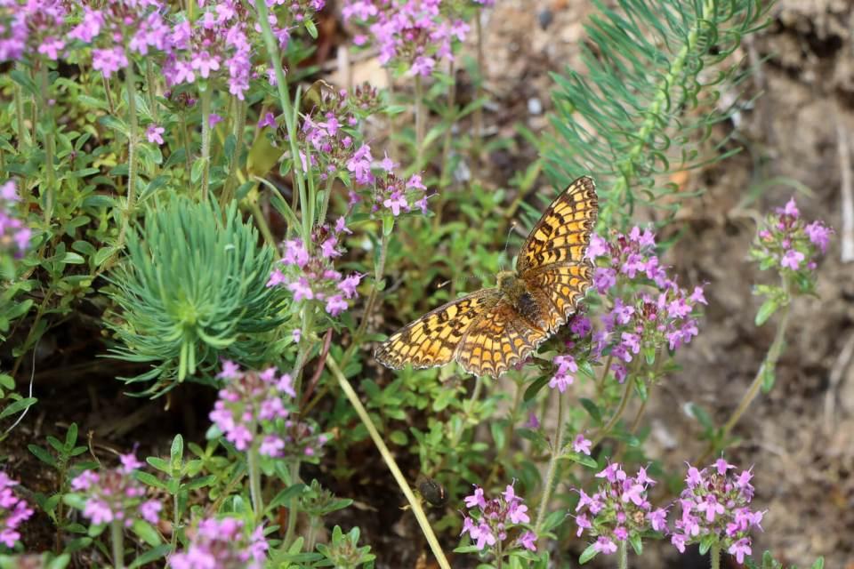Un papillon Damier sur des fleurs de thym