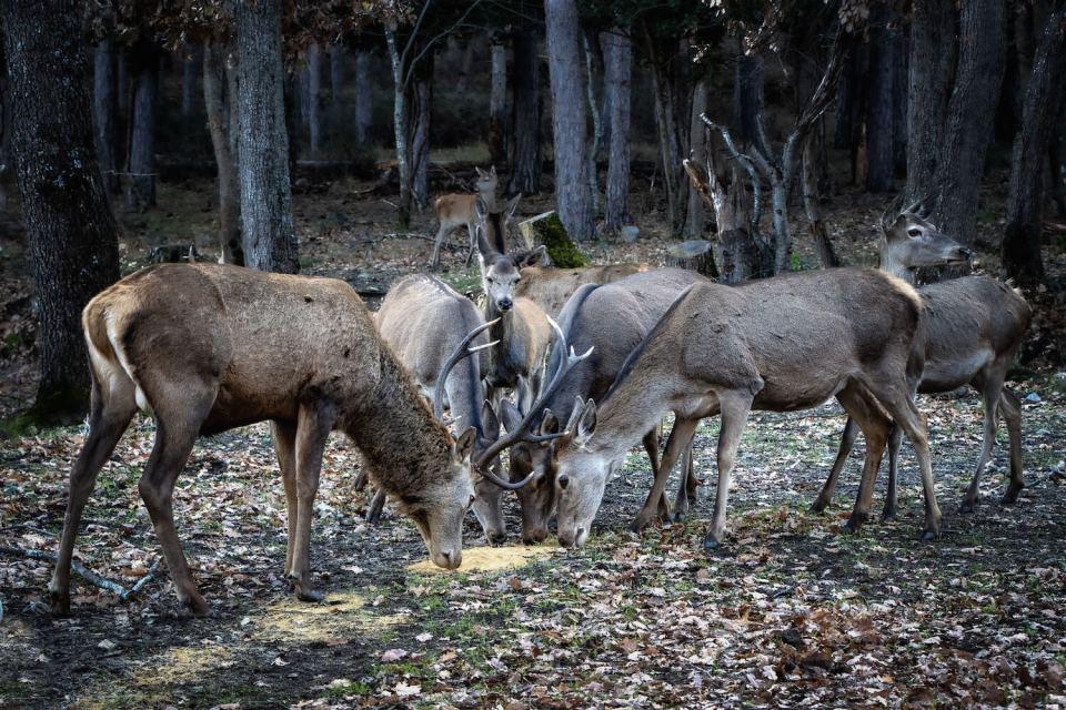 L'heure du repas pour les biches et les cerfs