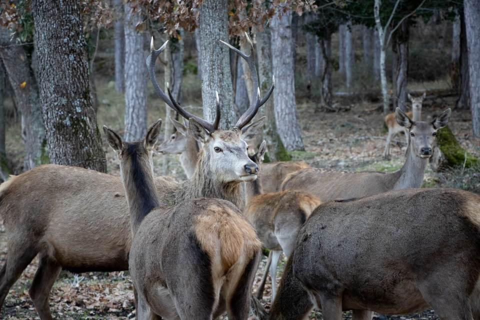 Harde de cerfs et biches à la Maison de Lucie, Mosset