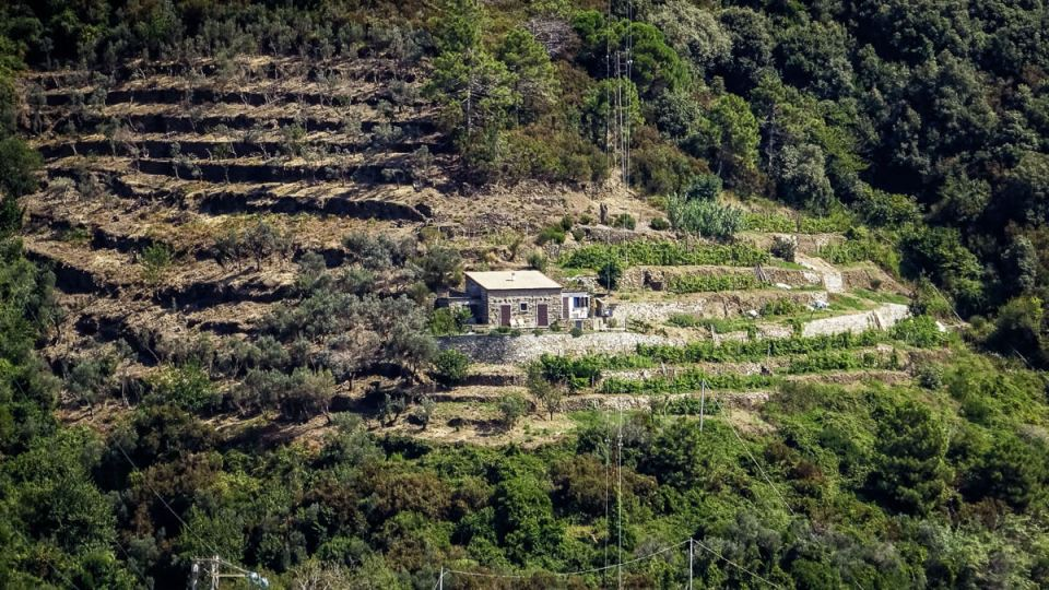 Culture de vignes en terrasses aux Cinque Terre avec partie cultivée en vigne et l'autre en oliviers