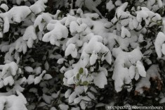 Southern magnolia in snow