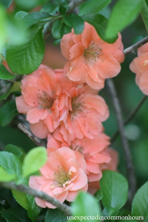 Peach-colored quince #3