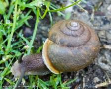 Garden snail #1