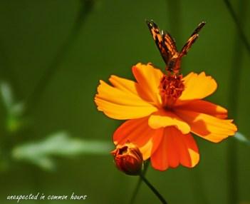 Butterfly on cosmos #1