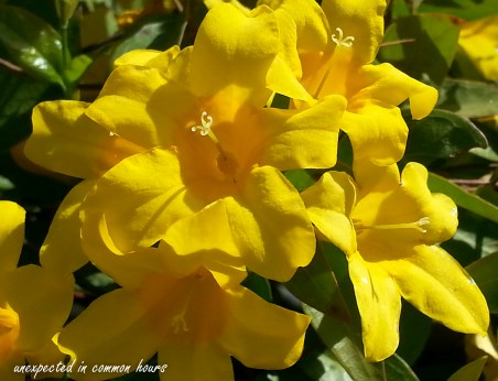 Carolina Yellow Jasmine