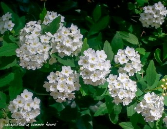Reeve's Bridal Wreath Spirea