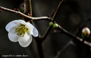 white-flowering-quince-2