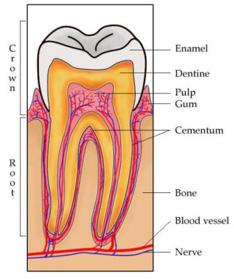 Tooth Anatomy by www.toothmingle.com
