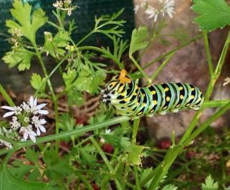 black swallowtail caterpillar angry horns