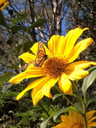 Monarch Butterfly on Mexican Sunflowers