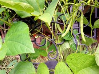 Human Beans - White Half-Runner Beans growing on sculptures
