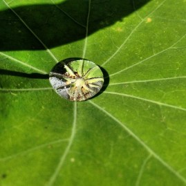 I love how this droplet of rainwater magnified the center of the leaf