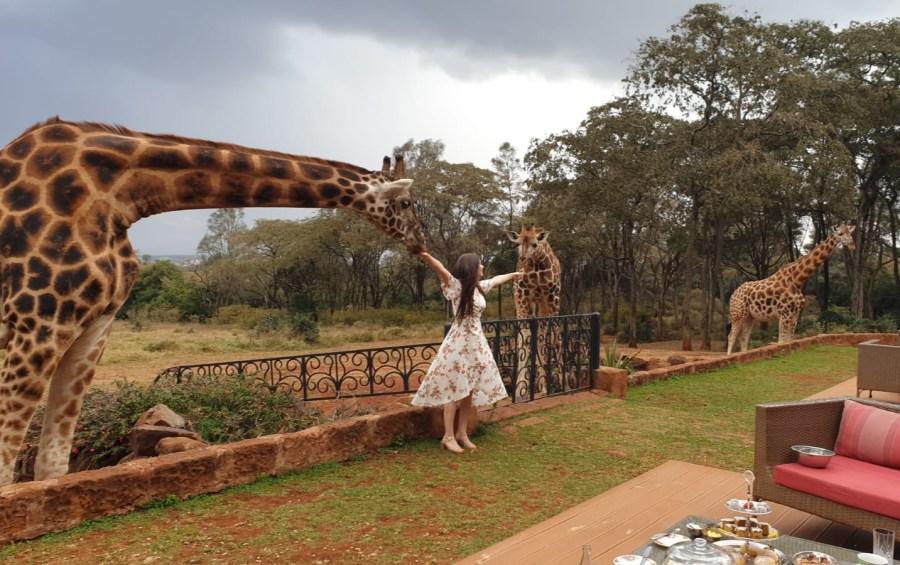 Feeding two giraffes