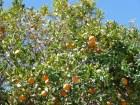 Oranges in San Pedro