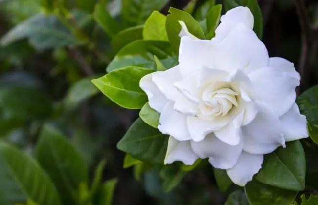 Gardenie, coltivazione e moltiplicazione.
