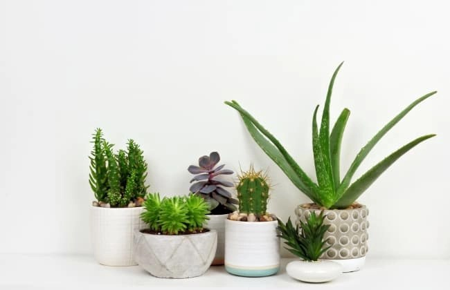 Moltiplicare cactus e succulente.