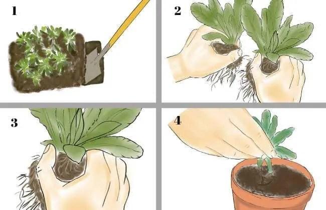 Divisione dei cespi. Un metodo semplicissimo per propagare piante.
