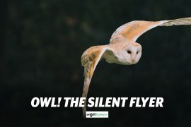 Silent Flight of Owl