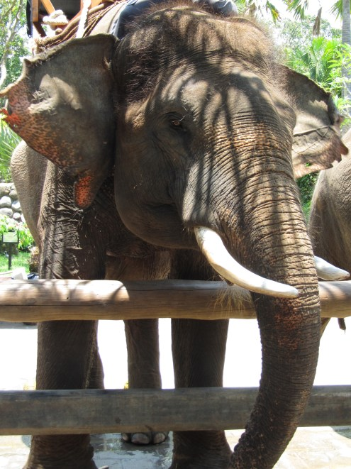 """Our ride, a Sumatran elephant named Budy. We asked the handler if he rode Budy every day and he said """"Of course. One elephant, one trainer."""""""