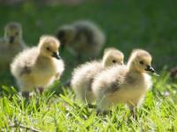 Little Canadian aliens: Goslings on campus