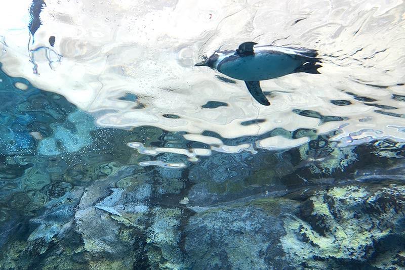 旭山動物園:ペンギン