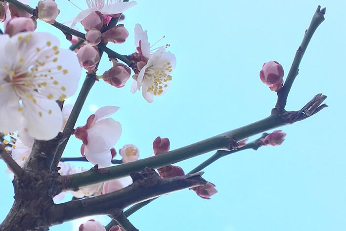 2017年初桜