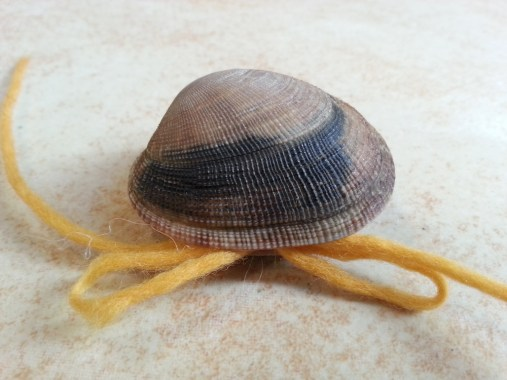 Venusmuschel