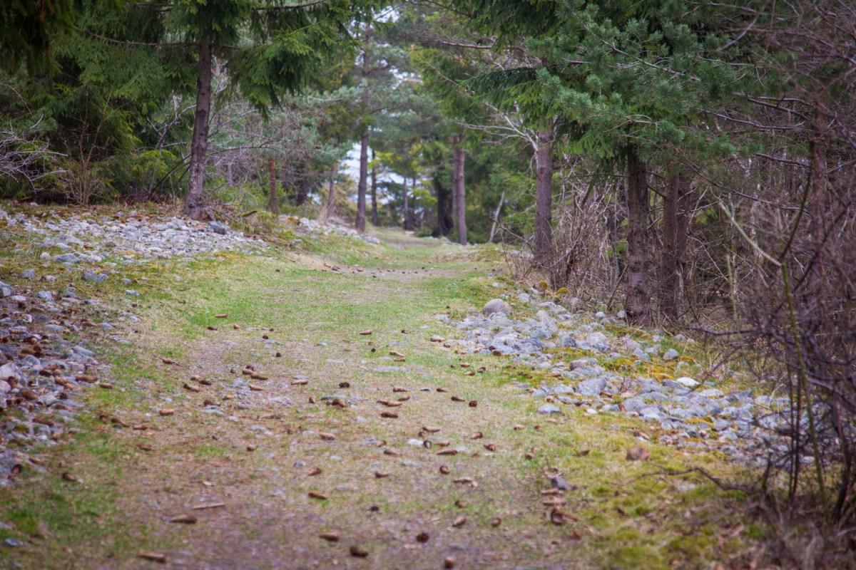 Furu på Jomfruland, Telemark, Norway. Foto: Cecilie Moestue/unikesteder.no