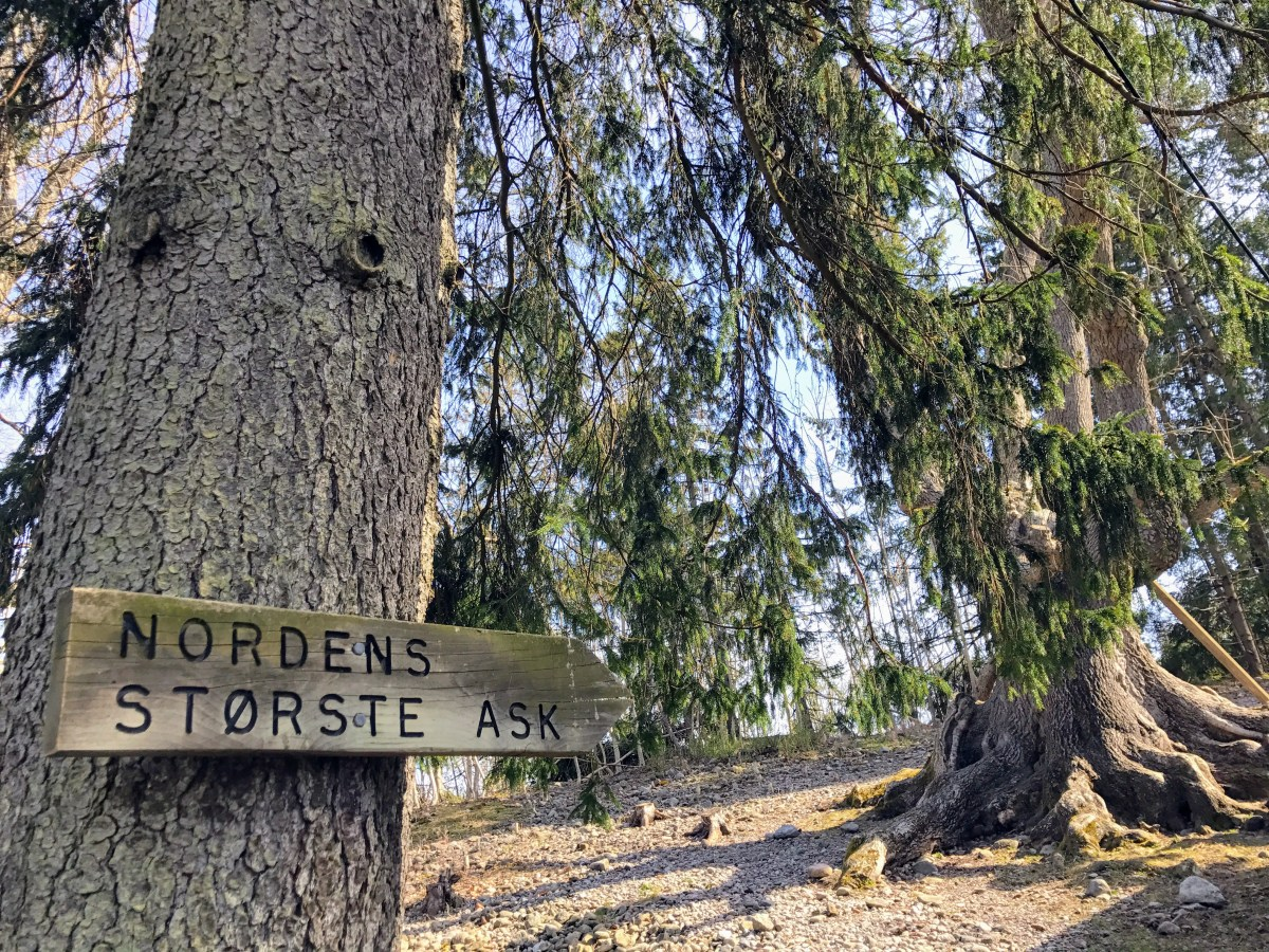 Nordens største ask på Jomfruland, Telemark, Norway. Foto: Cecilie Moestue/unikesteder.no