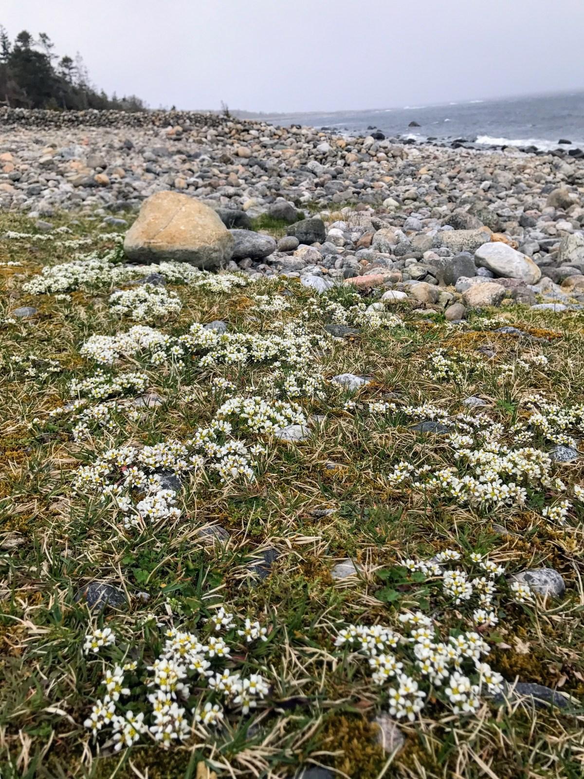 Sjørbuksurt på Jomfruland, Telemark, Norway. Foto: Cecilie Moestue/unikesteder.no