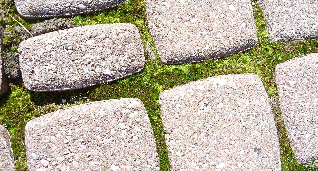 how to grow moss between pavers unilock