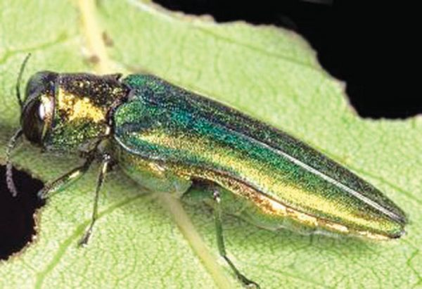 Control of tree-destroying insect sought