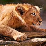 CC Attribution No Derivatives - Tambako - Lion Pounce