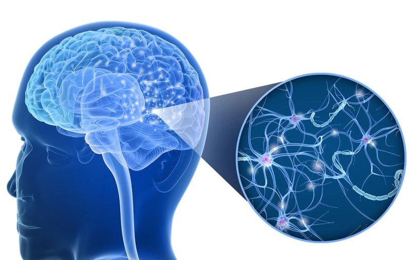 Nevrale baner i hjernen