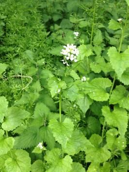 Hedge Garlic