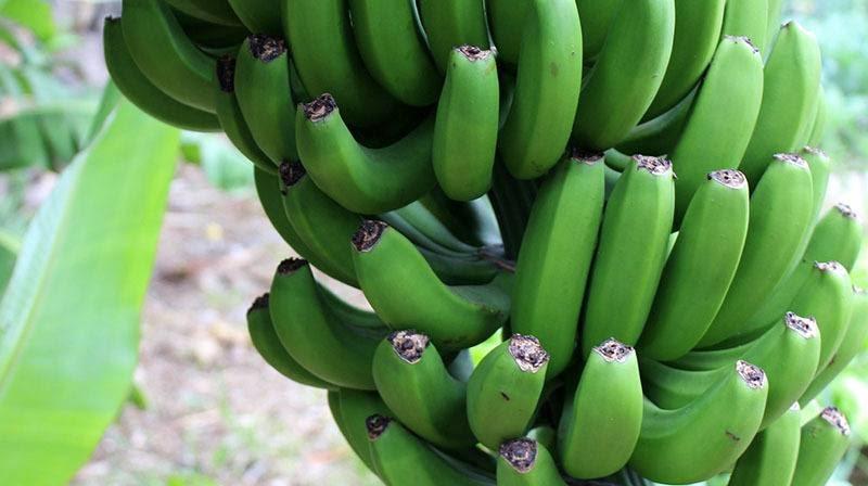 piña de plátanos verdes grande