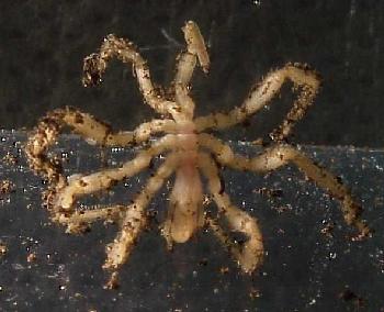 sea_spider.jpg