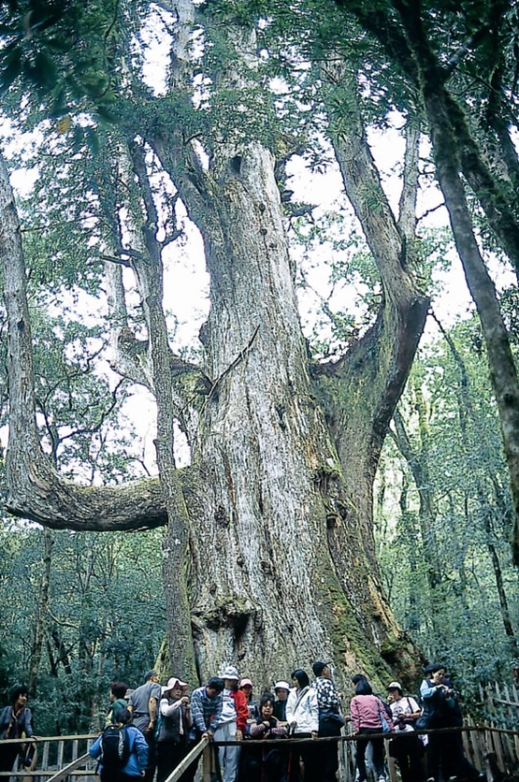 3500歲大老爺巨木(壓縮檔)