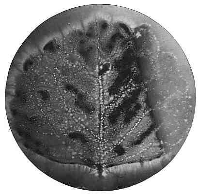 Plant Aura (Kirlian, 1973)