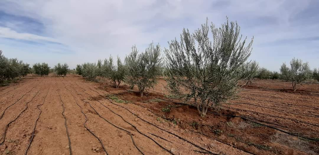 Remada: Launch Of TheProject To Plant 130000 Spanish Olive Trees Over The Tunisian Desert