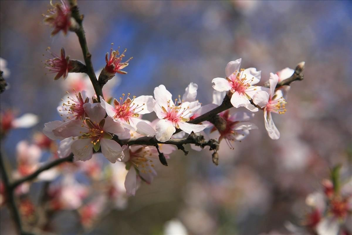 hiking in the Crimea - macro - almond blossom