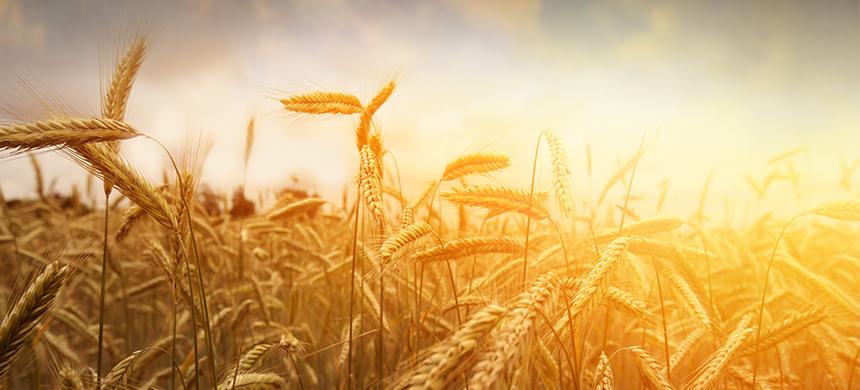 El trigo y la cizaña: el tiempo revela quién es quién