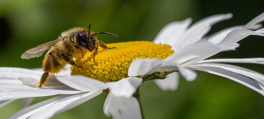 Día Mundial de las Abejas: ¿Si se extinguen las abejas, nos extinguimos nosotros?