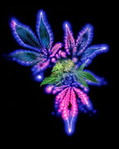 marijuana-leaf-and-bud-kirlian-artwork-boothgarion