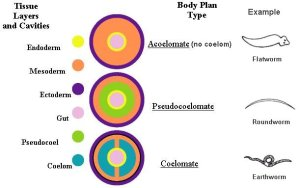 Germ layers